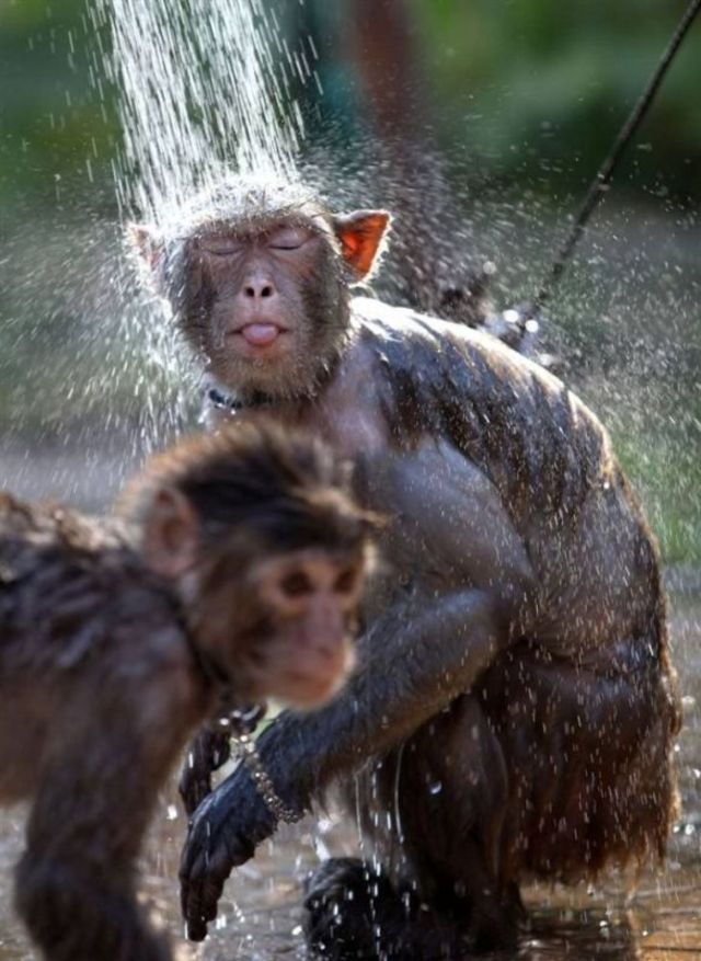 monkey-shower